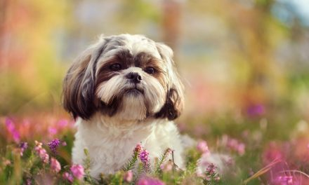 Have You Thought About Getting A Shih Tzu?