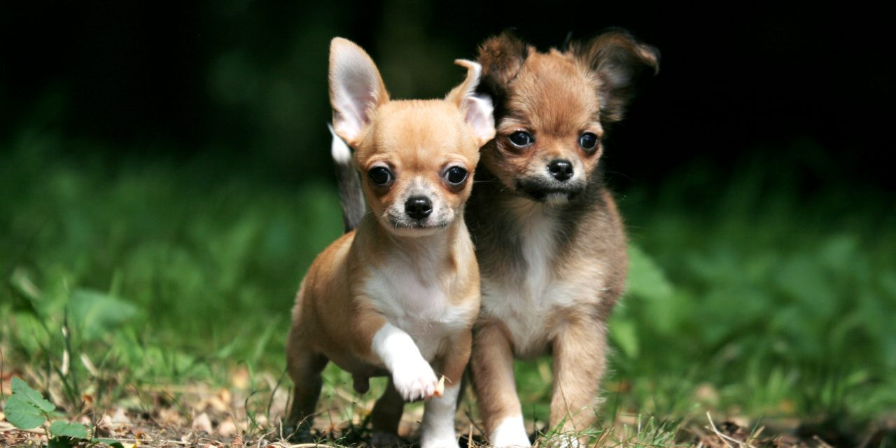 Smallest Dog Breed In The World 2017 - Dog Breed