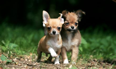 One of the smallest dog in the world? The Chihuahua