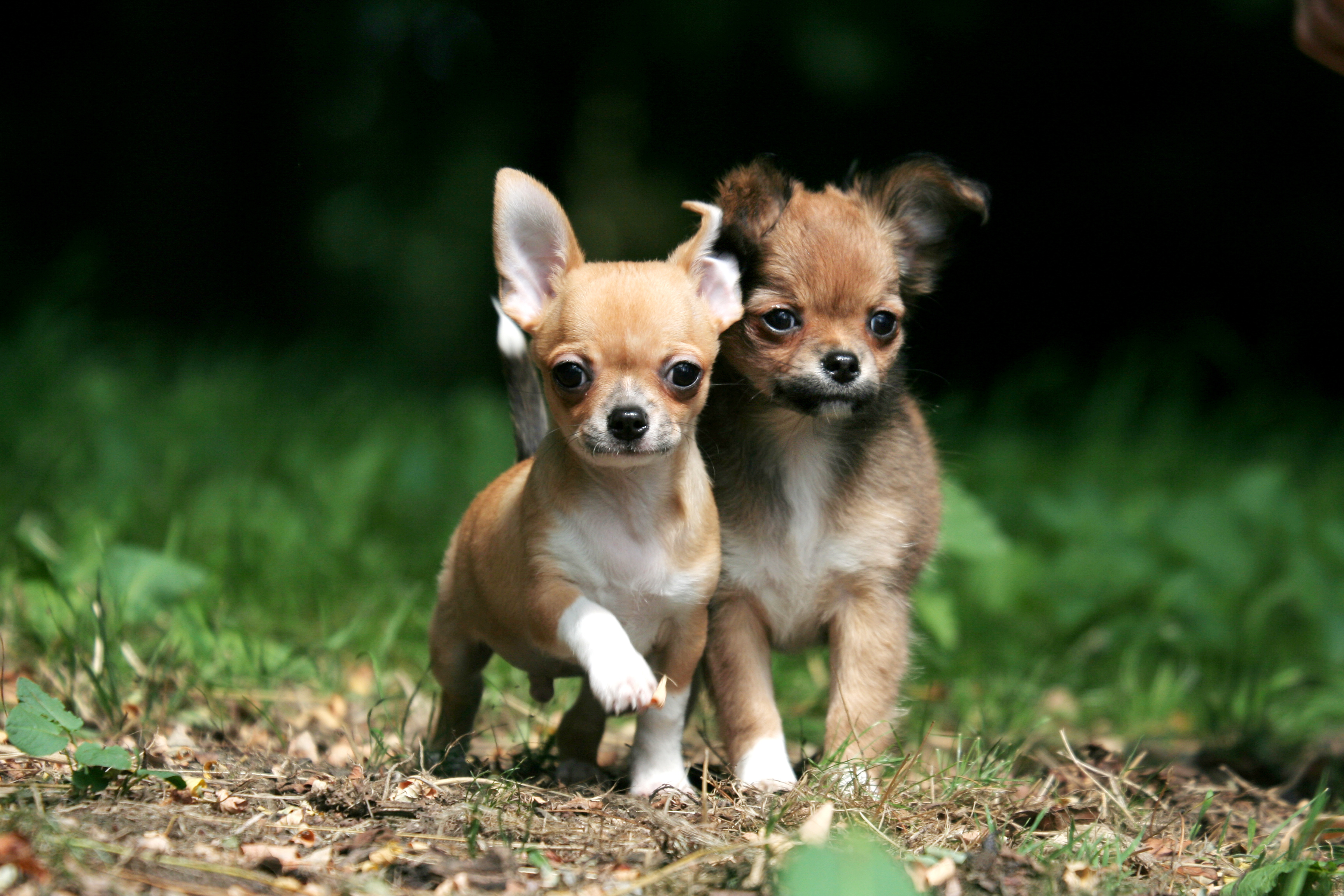 One Of The Smallest Dog In The World The Chihuahua