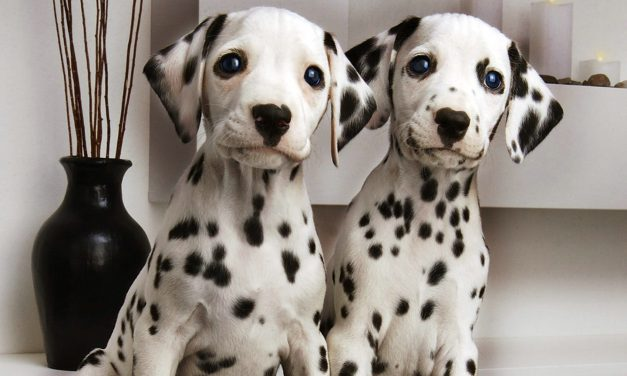 So You Want a Dalmatian. Are you sure?