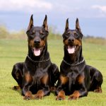 Is a Doberman Pinscher Right For You?