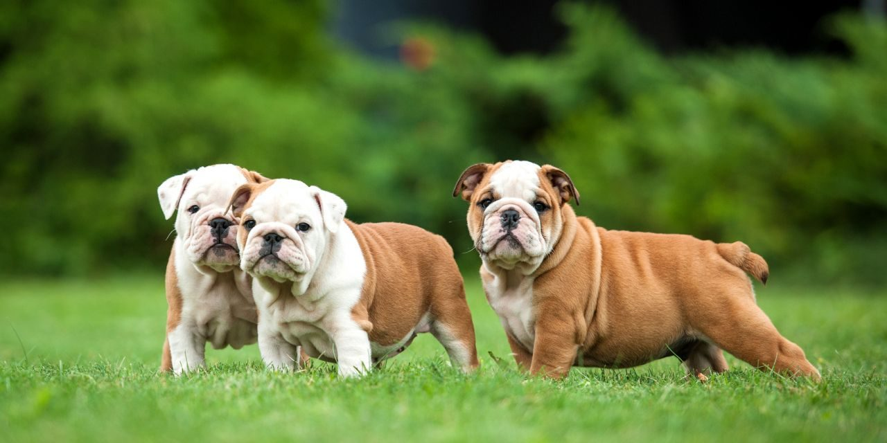 How to Become a Dog Breeder