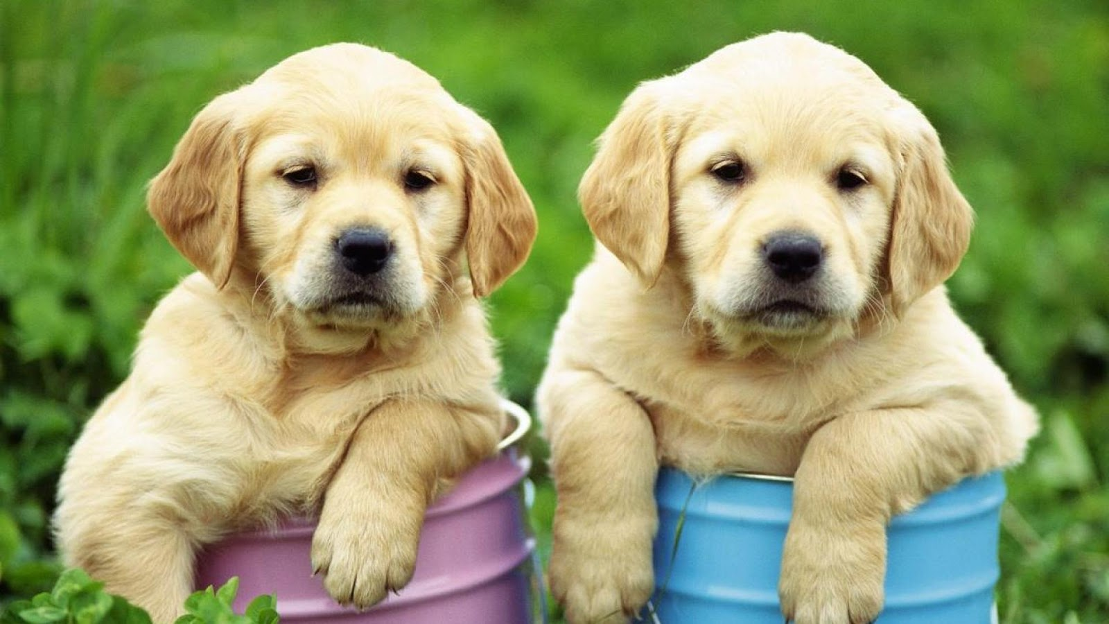 Is a Labrador Retriever the Right Dog Breed for You?
