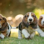 Is a Basset Hound Right for You?