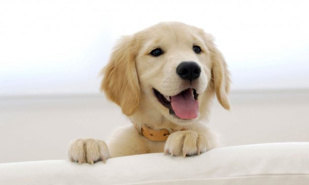 Is a Golden Retriever the Right Dog for You?