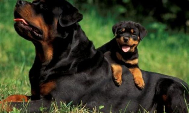 Is a Rottweiler the Right Breed for You?