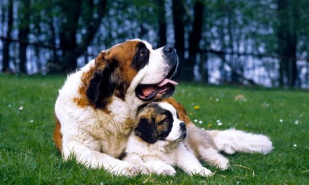 A Look at the Saint Bernard