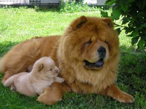 Chow chow mom and puppy