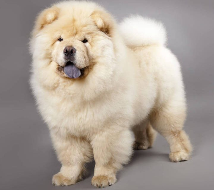 Do you want a Chinese dog? Maybe the Chow is the breed for you!