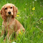 Is a Cocker Spaniel Right for You?